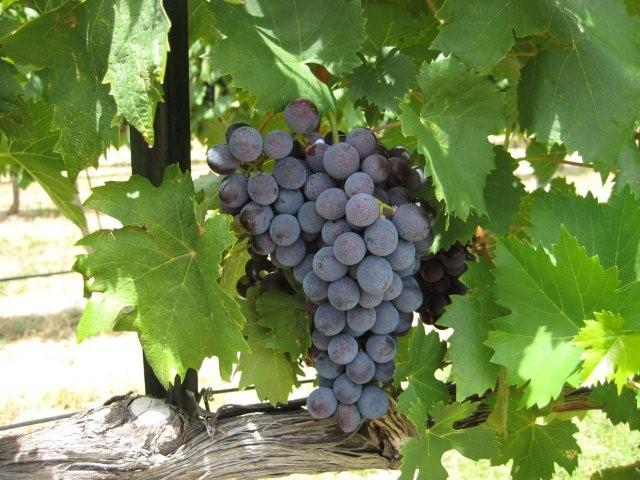 Grapes of Flat Creek