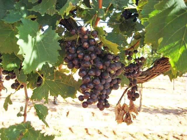 Great 2008 Texas Grape Harvest