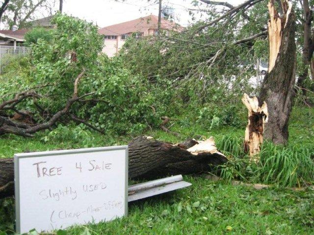 Ike\'s Aftermath: Tree 4 Sale - Cheap!