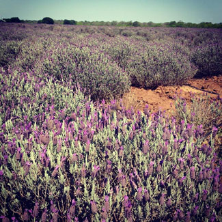 Becker-Vineyards-Lavender