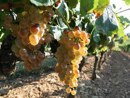 Roussanne-Grapes