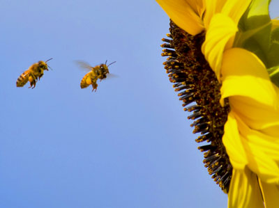 Honey-bees-&-sunflower