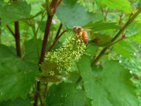 Bee-on-Grape-FLower