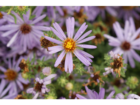 Fall-Aster